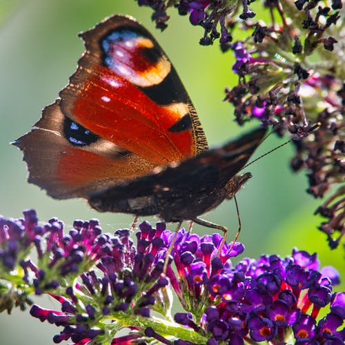 Free stock photo of butterfly, close-up, purple flower
