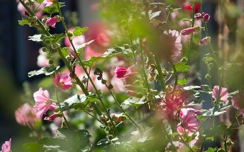 Free stock photo of depth of field, hollyhock, pink flowers