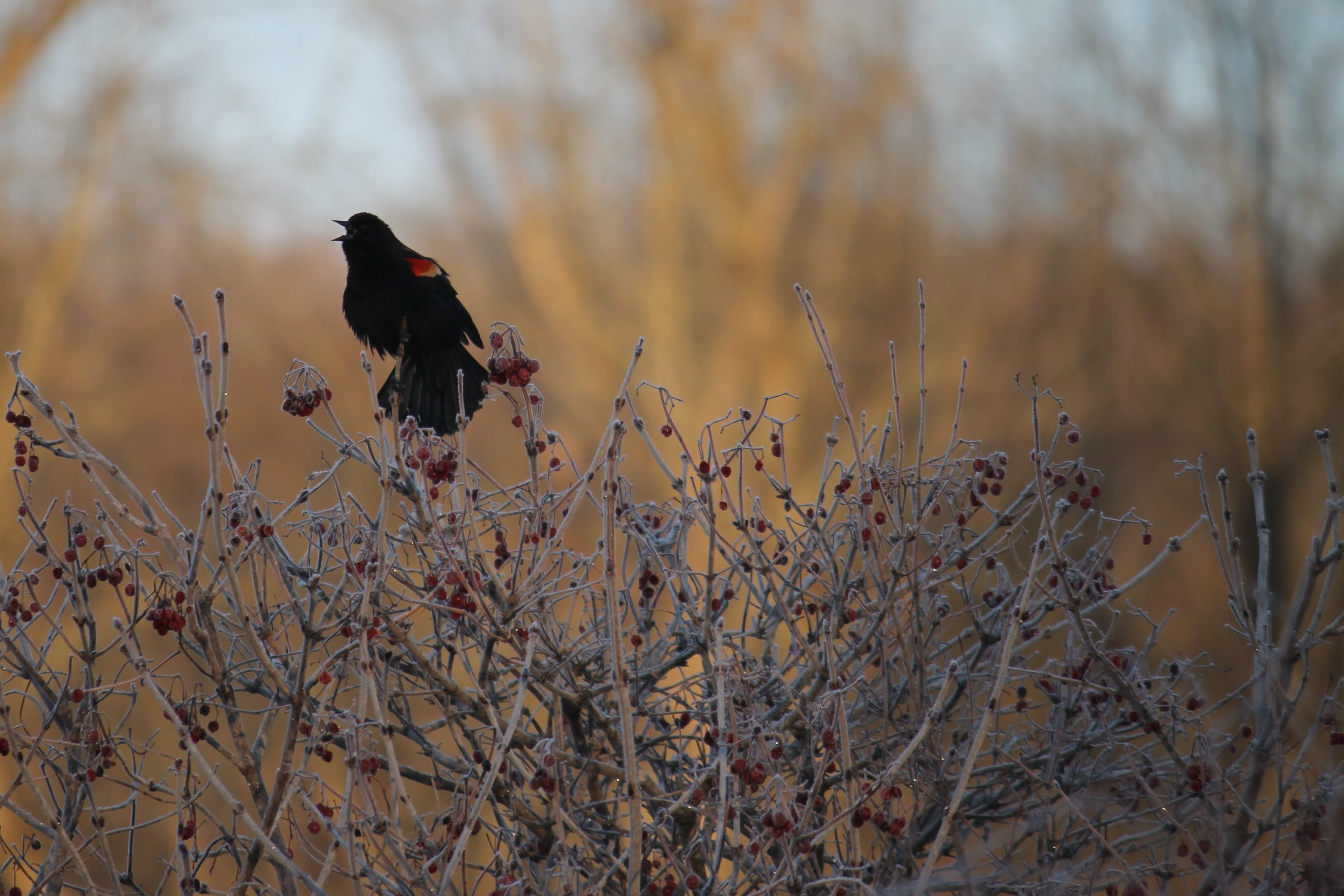 Free stock photo of birds, nature photography, red winged black bird