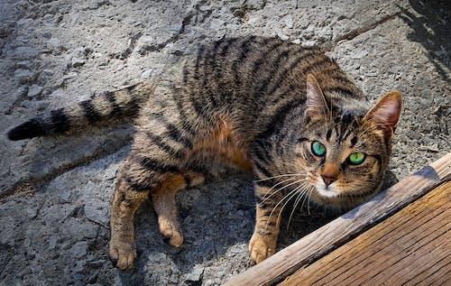 Free stock photo of cat, concrete, eyes