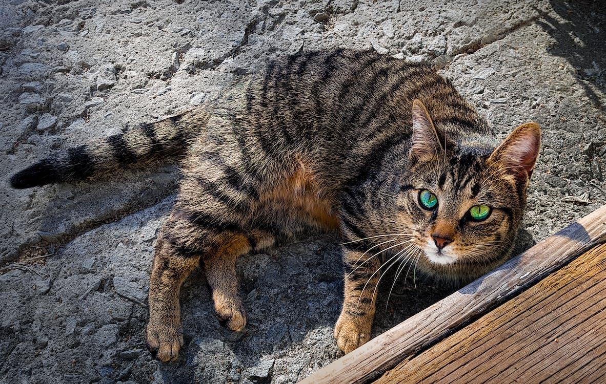 Gratis stockfoto met beton, huisdieren, kat