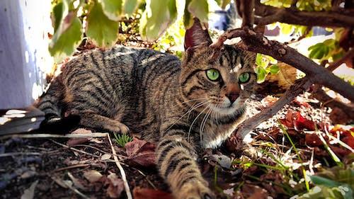 Free stock photo of animals, bush, cat