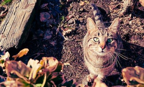 Ingyenes stockfotó állat, bajusz, belföldi, cica témában