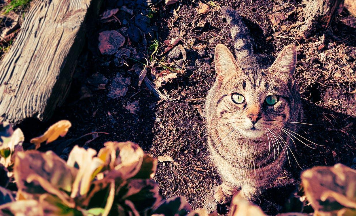 Kot Brązowy I Szary Pręgowany