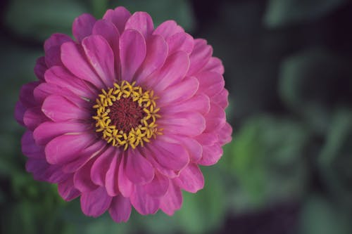 Close-Up Shot of a Purple Common Zinnia in Bloom