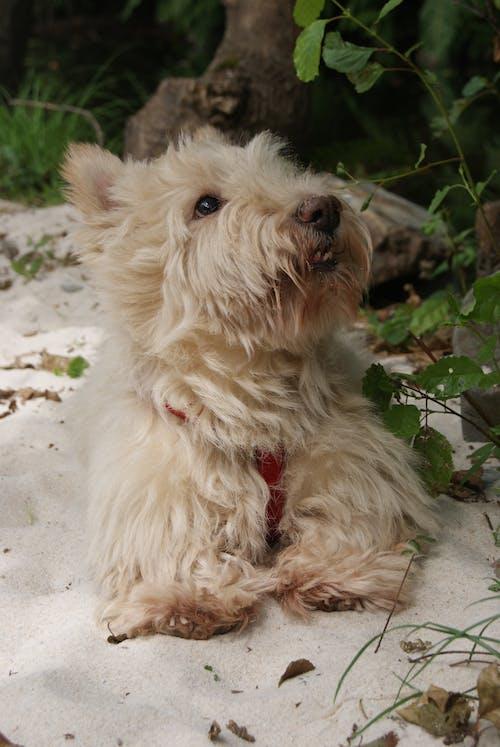 Gratis arkivbilde med min hund, skotsk terrier