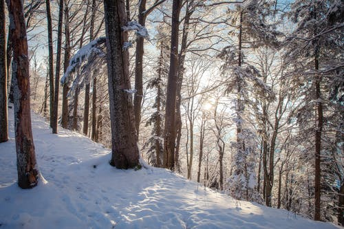 Brown Bare Trees on Snow Covered Ground