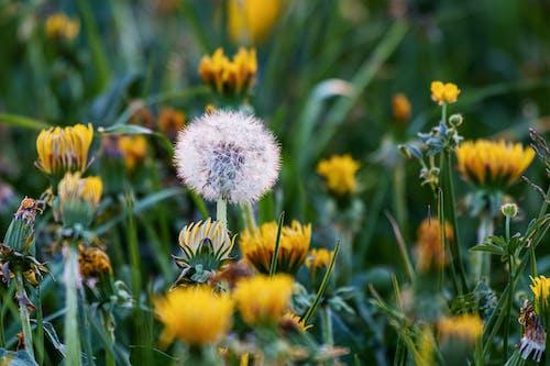 White Dandelion in Bloom