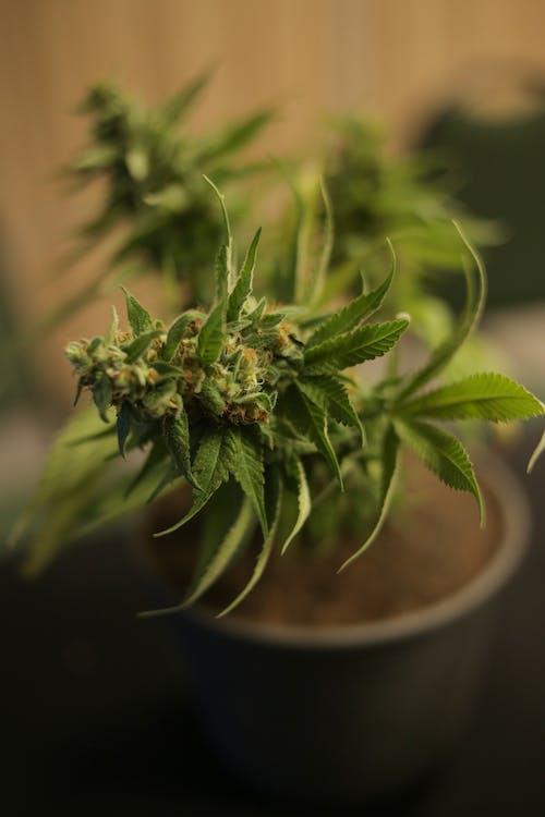 Free stock photo of delta9, marijuana, medicinal plant