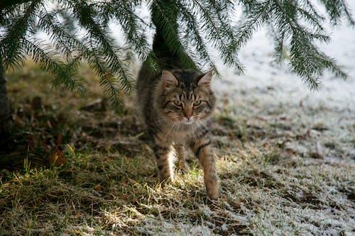 Close-Up Shot of a Tabby Cat Walking