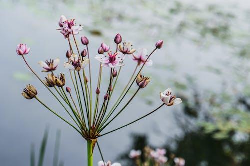Fotobanka sbezplatnými fotkami na tému butomaceae, flóra, hĺbka ostrosti