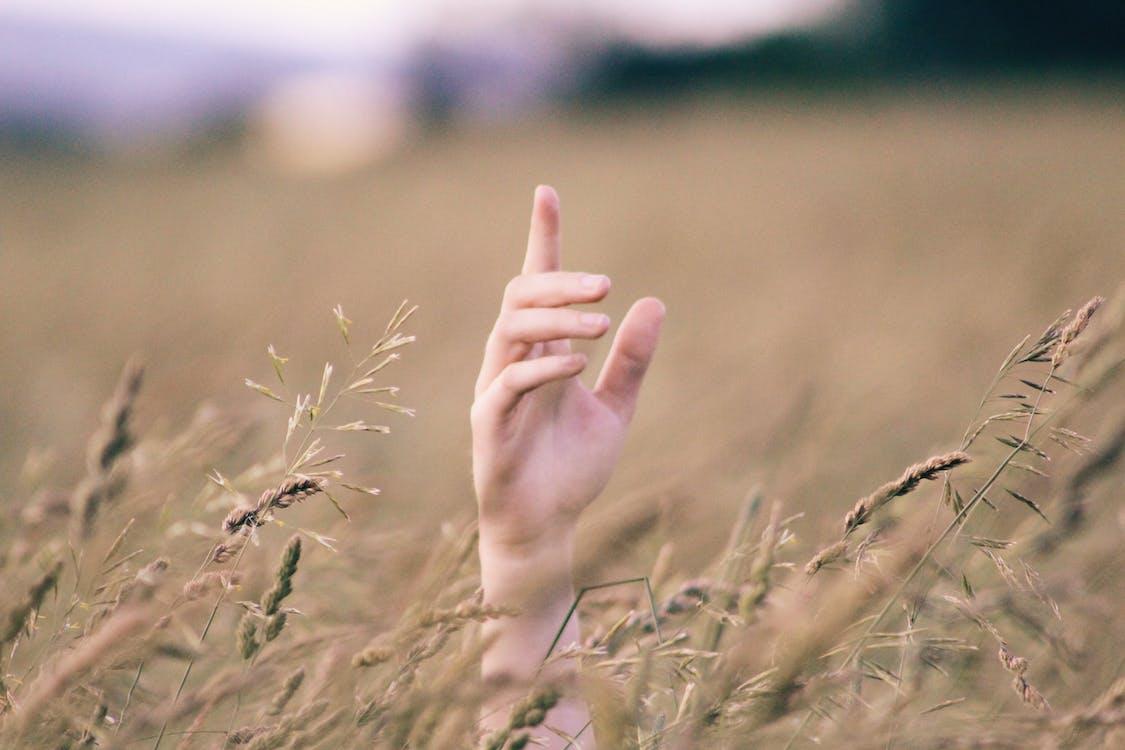 cận cảnh, cánh đồng, cánh đồng lúa mì