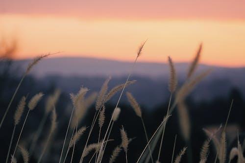 Kostnadsfri bild av fält, gräs, gyllene timmen, himmel