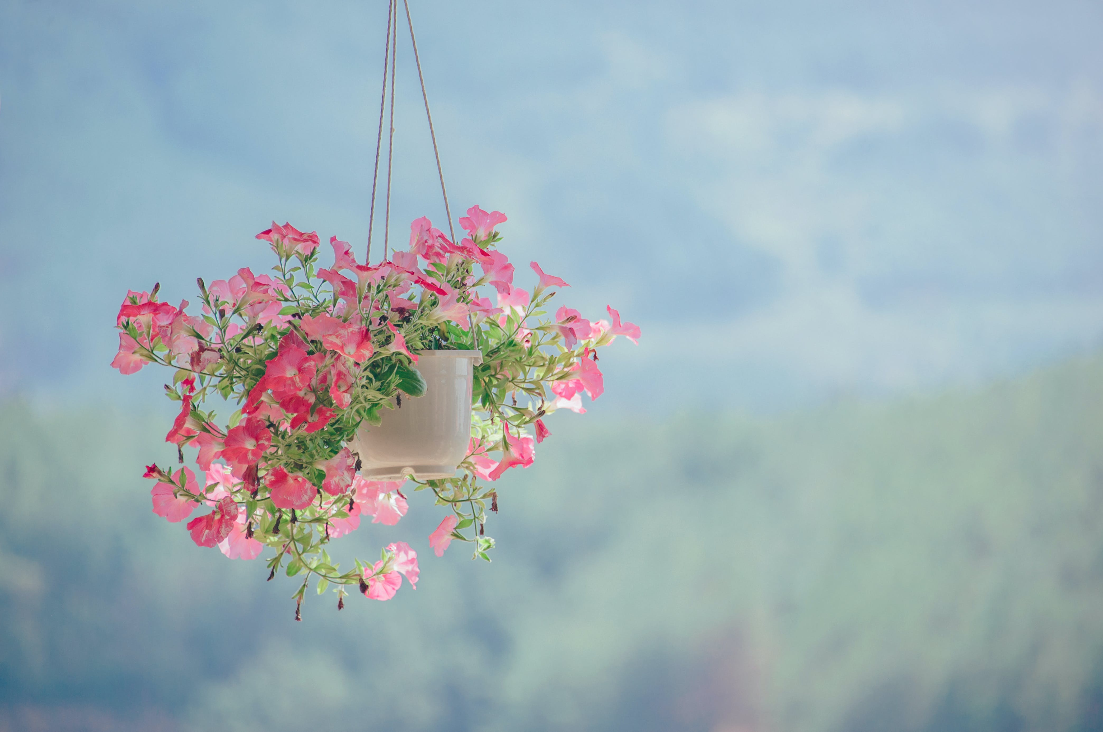 Pink Petaled Flower Plant Inside White Hanging Pot