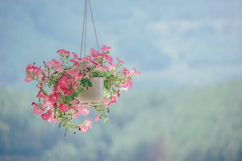 Planta De Flor Com Pétalas Rosa Dentro De Um Vaso Branco Pendurado