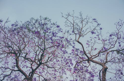 Two Purple Leaf Trees