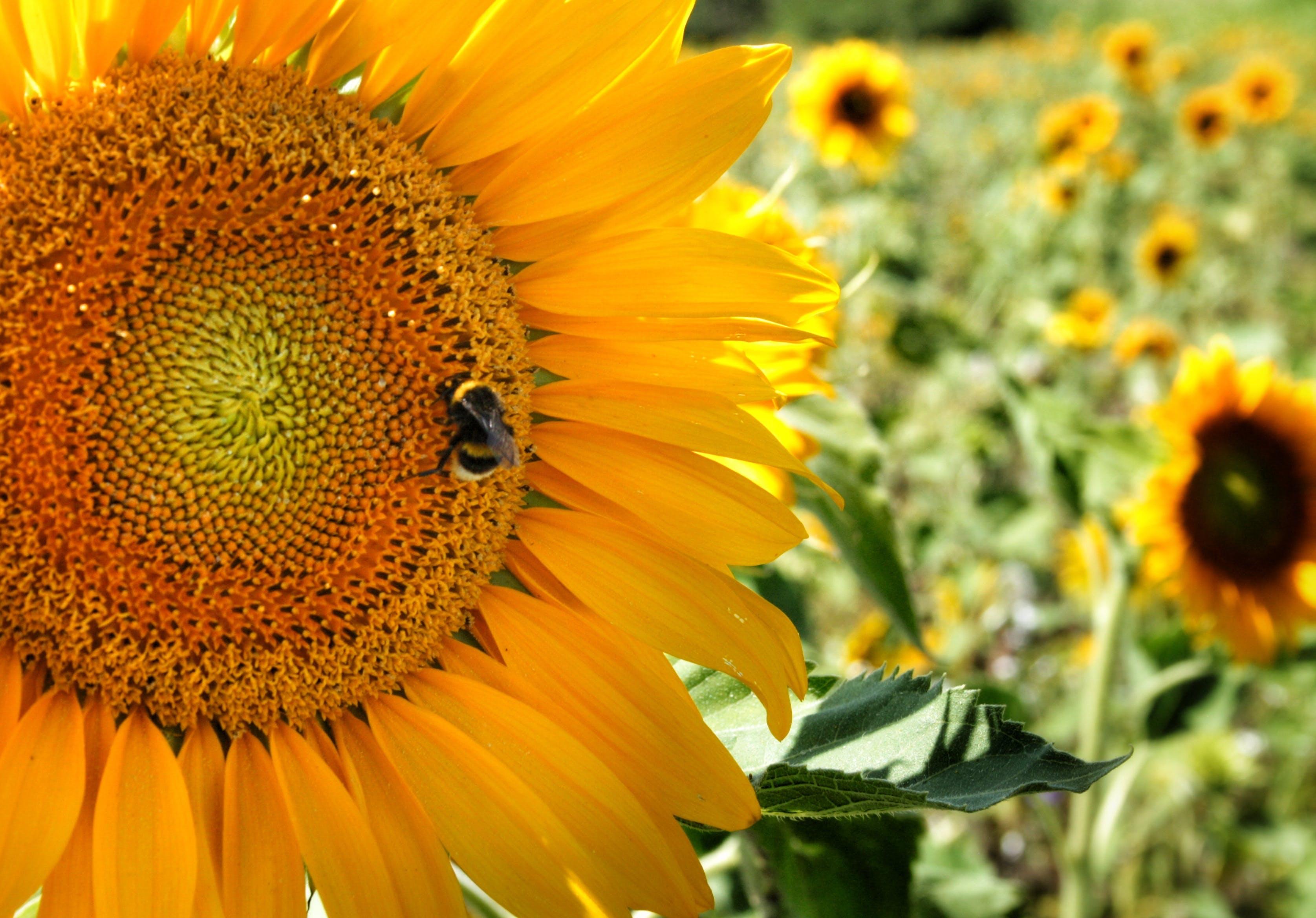 Kostenloses Stock Foto zu biene, deutschland, sonnenblumen
