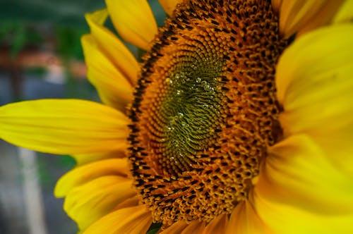 Free stock photo of flora, flowering plants, golden yellow