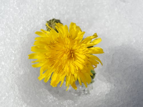 Free stock photo of flower, snow, yellow flower
