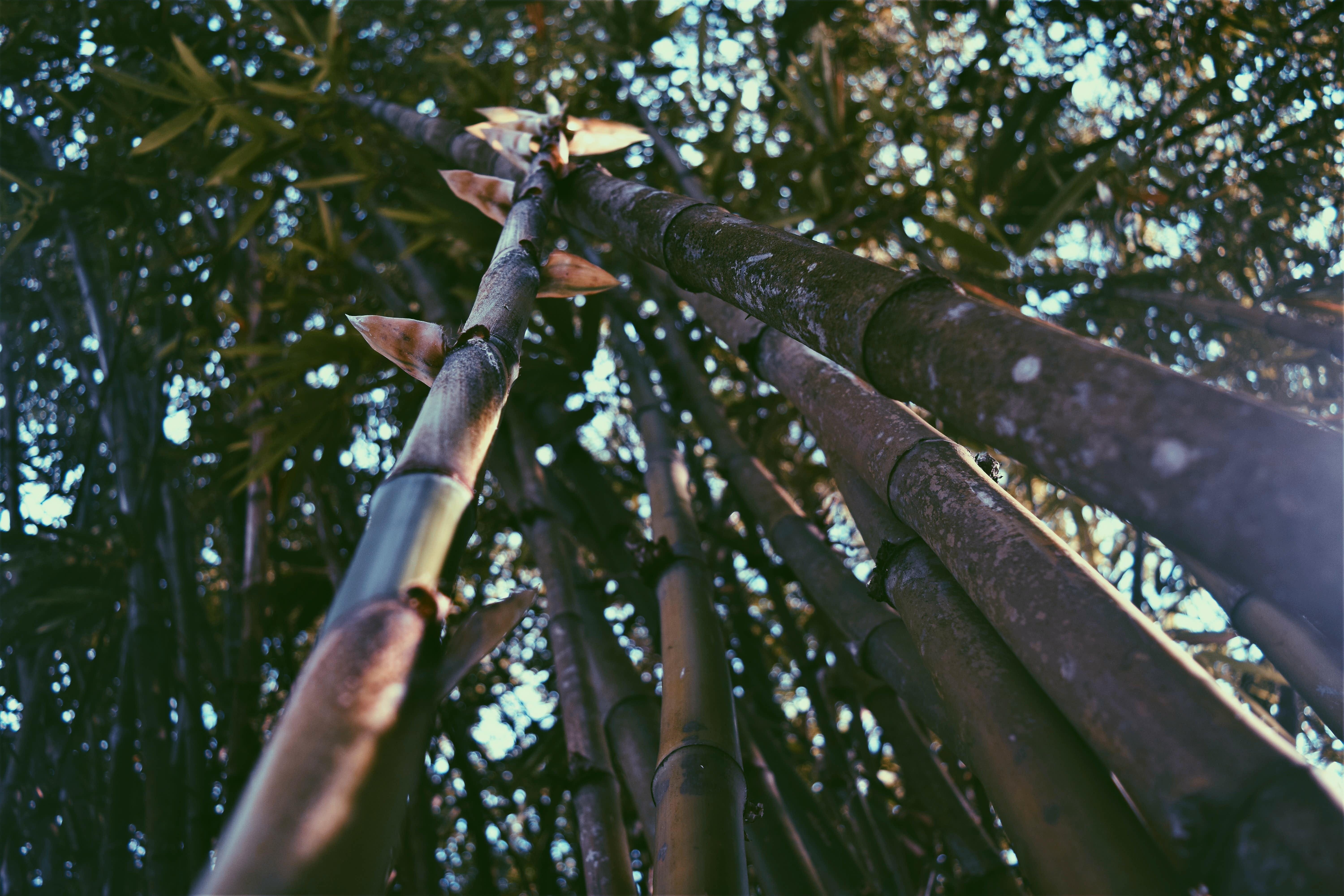 Worm's Eye View of Bamboos