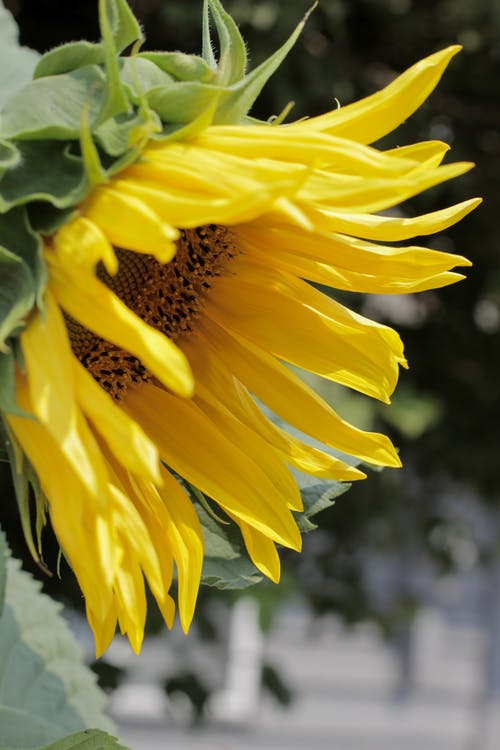 Close-Up Photo of Yellow Petals of a Sunflower