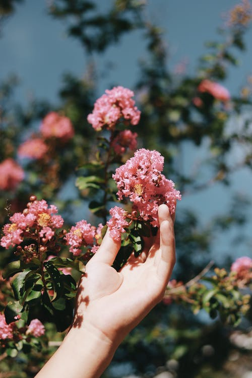 Person Holding Pink Flower