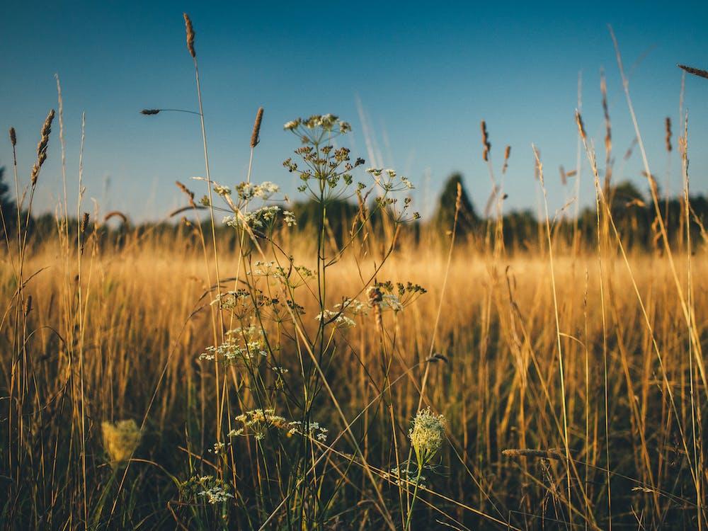 camp, camp de blat de moro, camp de panís