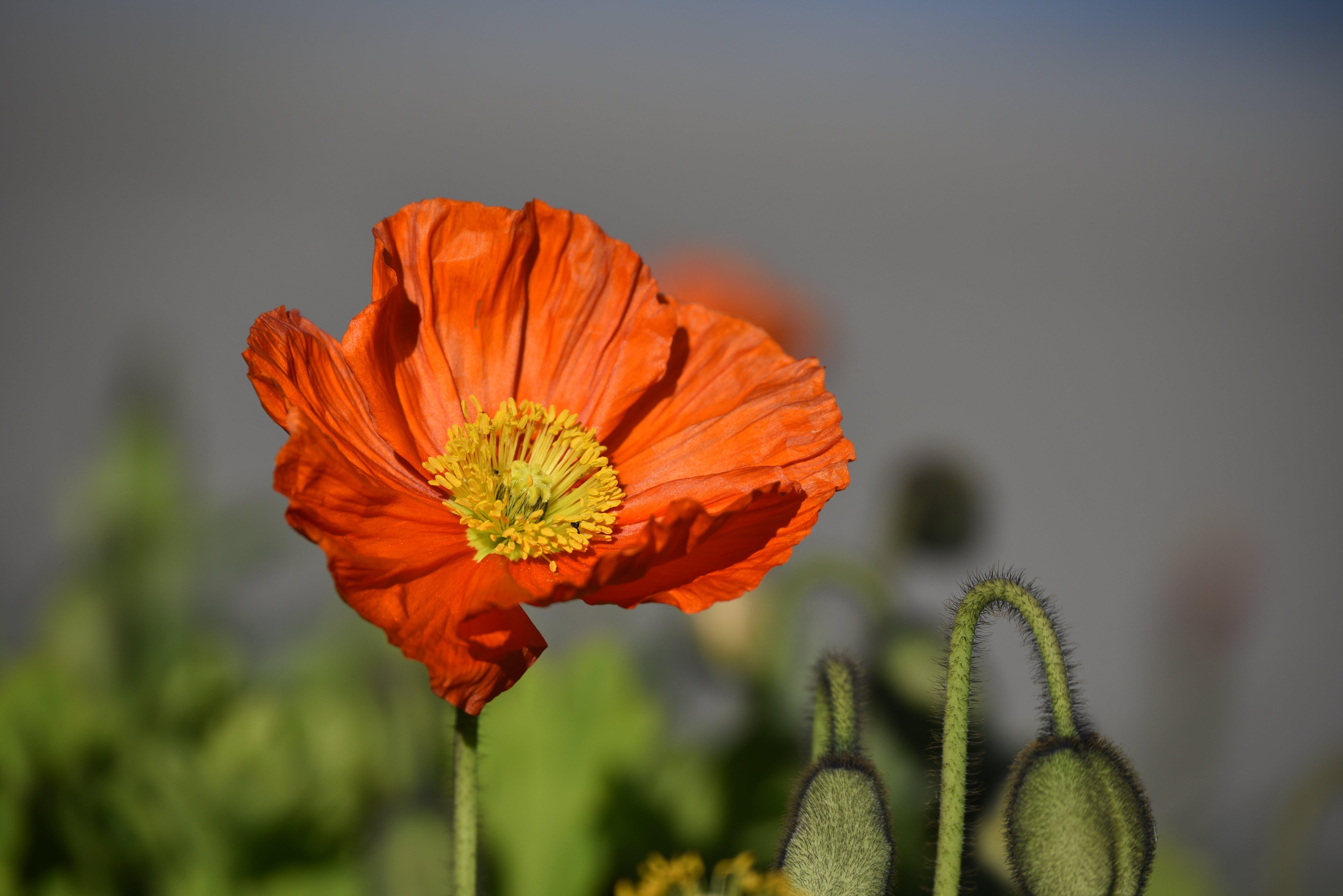Free stock photo of red, spring, flower, poppy