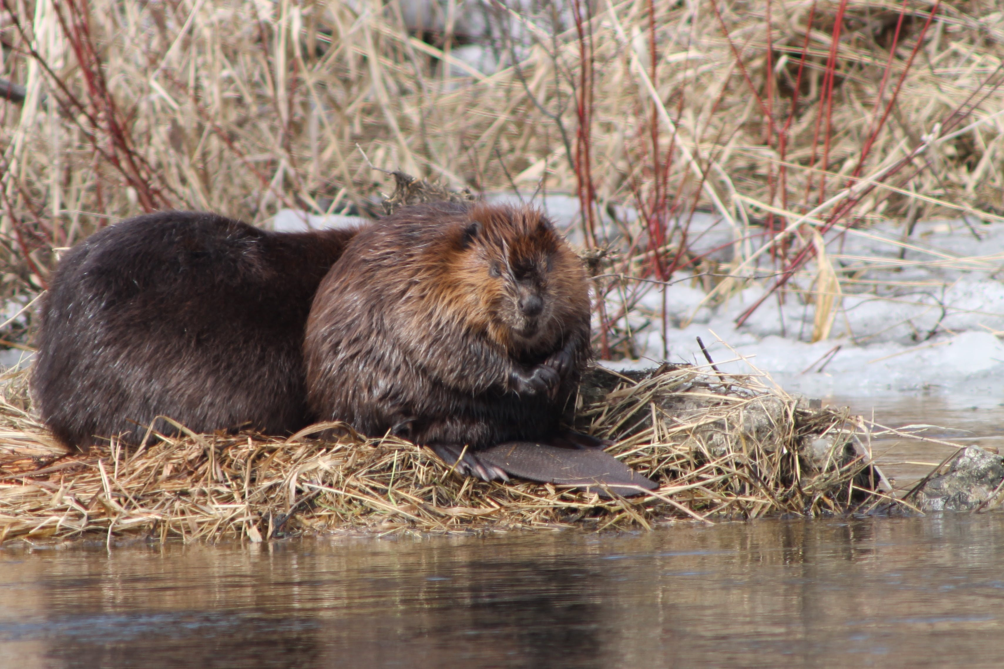 Free stock photo of beaver, nature photography, winter