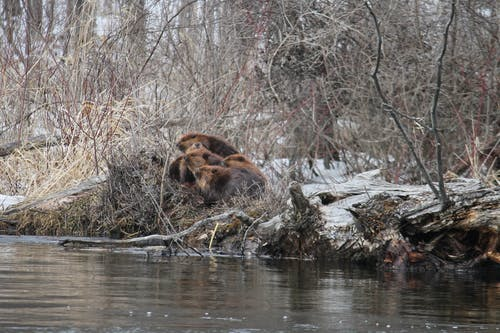 Ingyenes stockfotó hód, tél, természetfotózás témában