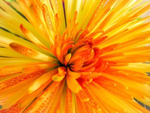 Free stock photo of beautiful flowers, floral, orange, summer flower