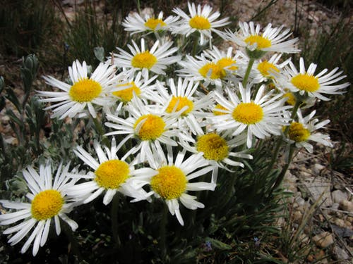 Free stock photo of flowers, white, white daisies, yellow