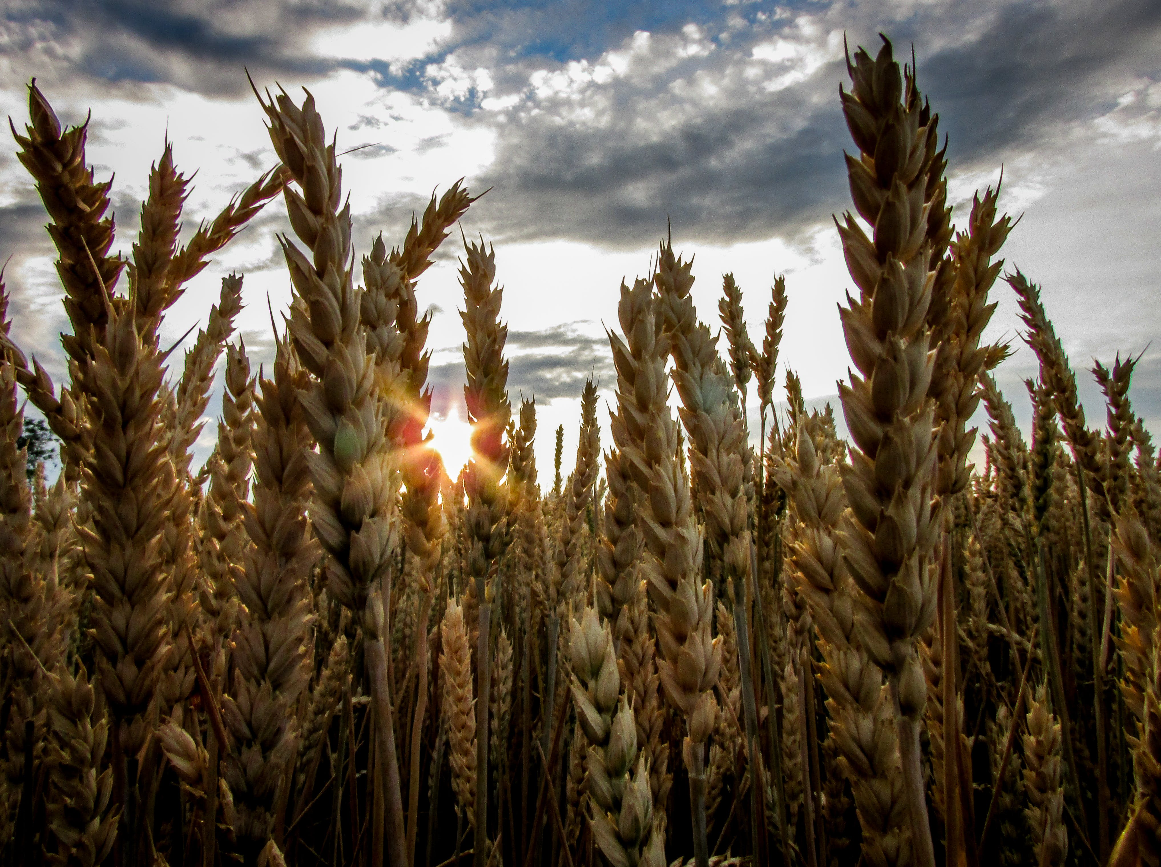 Brown Wheat Field Under Blue Cloudy Sky