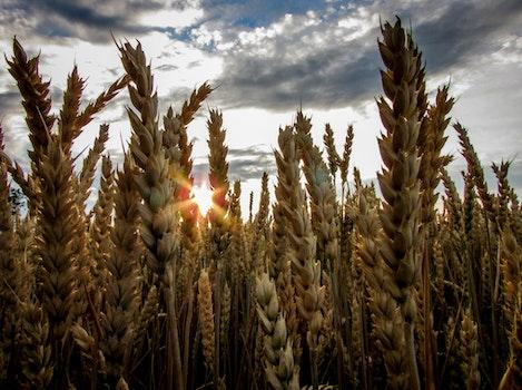 Brown Wheat Field Under Blue Cloudy Sky