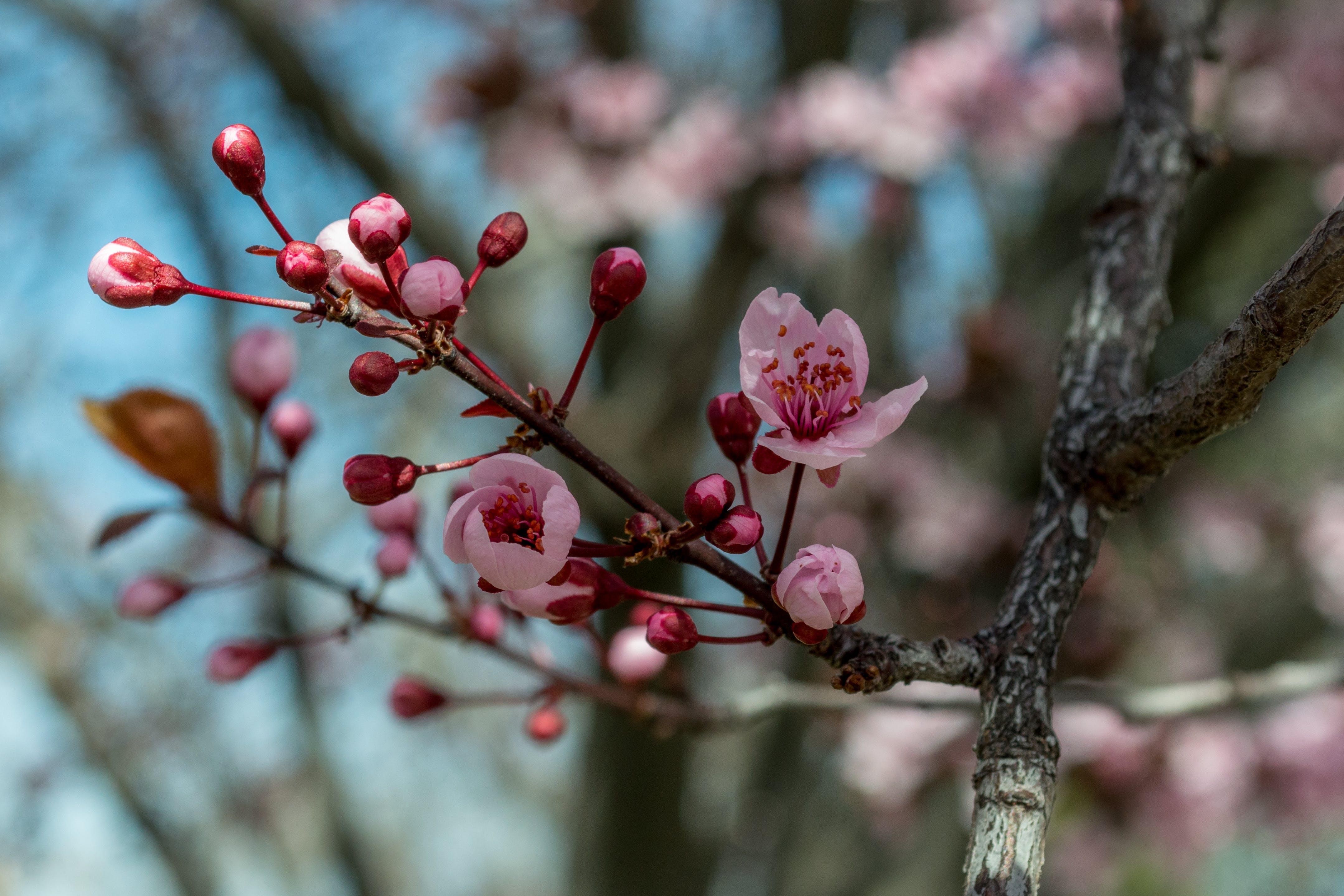 Fotos de stock gratuitas de brillante, brotes, cerezos en flor, colores