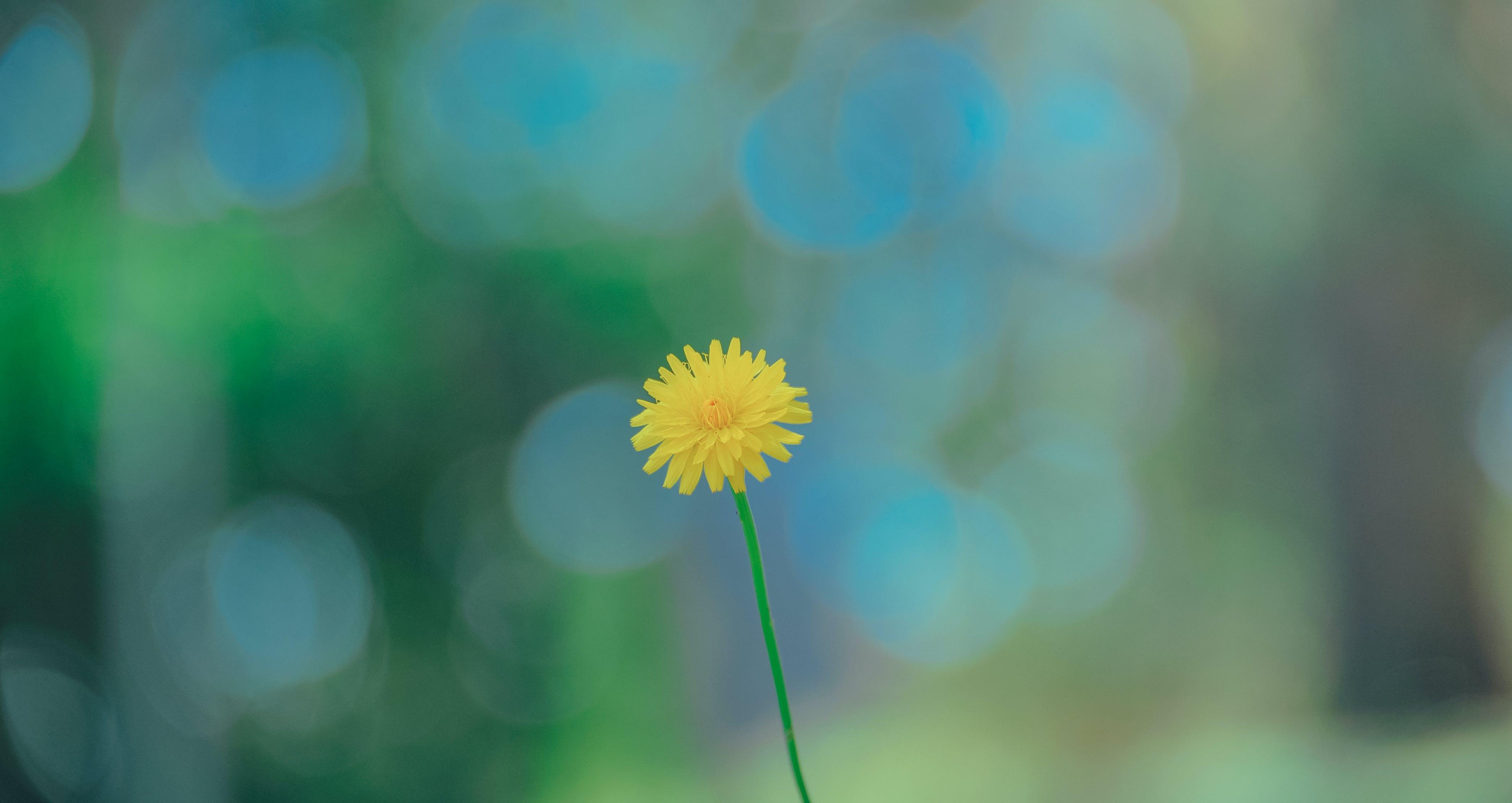 Selective Photo of Yellow Dandelion