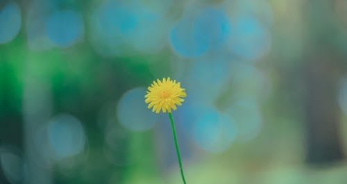 Selective Photo of Yellow Dandelion