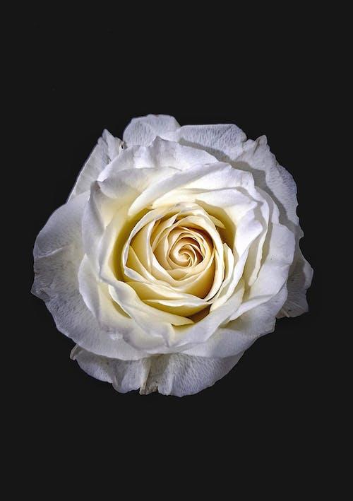 A Close-Up Shot of a White Rose