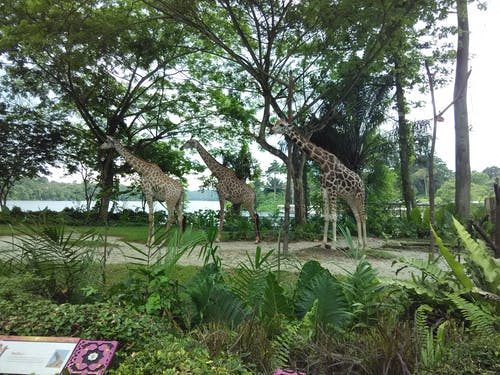คลังภาพถ่ายฟรี ของ ยีราฟ, สวนสัตว์