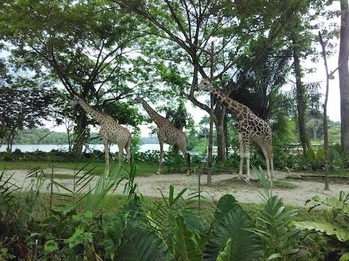 คลังภาพถ่ายฟรี ของ ยีราฟ, สวนสัตว์, สัตว์ป่า