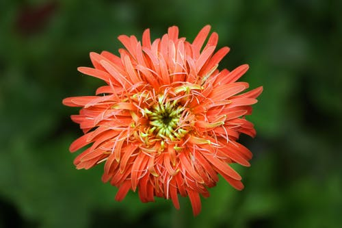 Red Chrysanthemum Closeup Photo