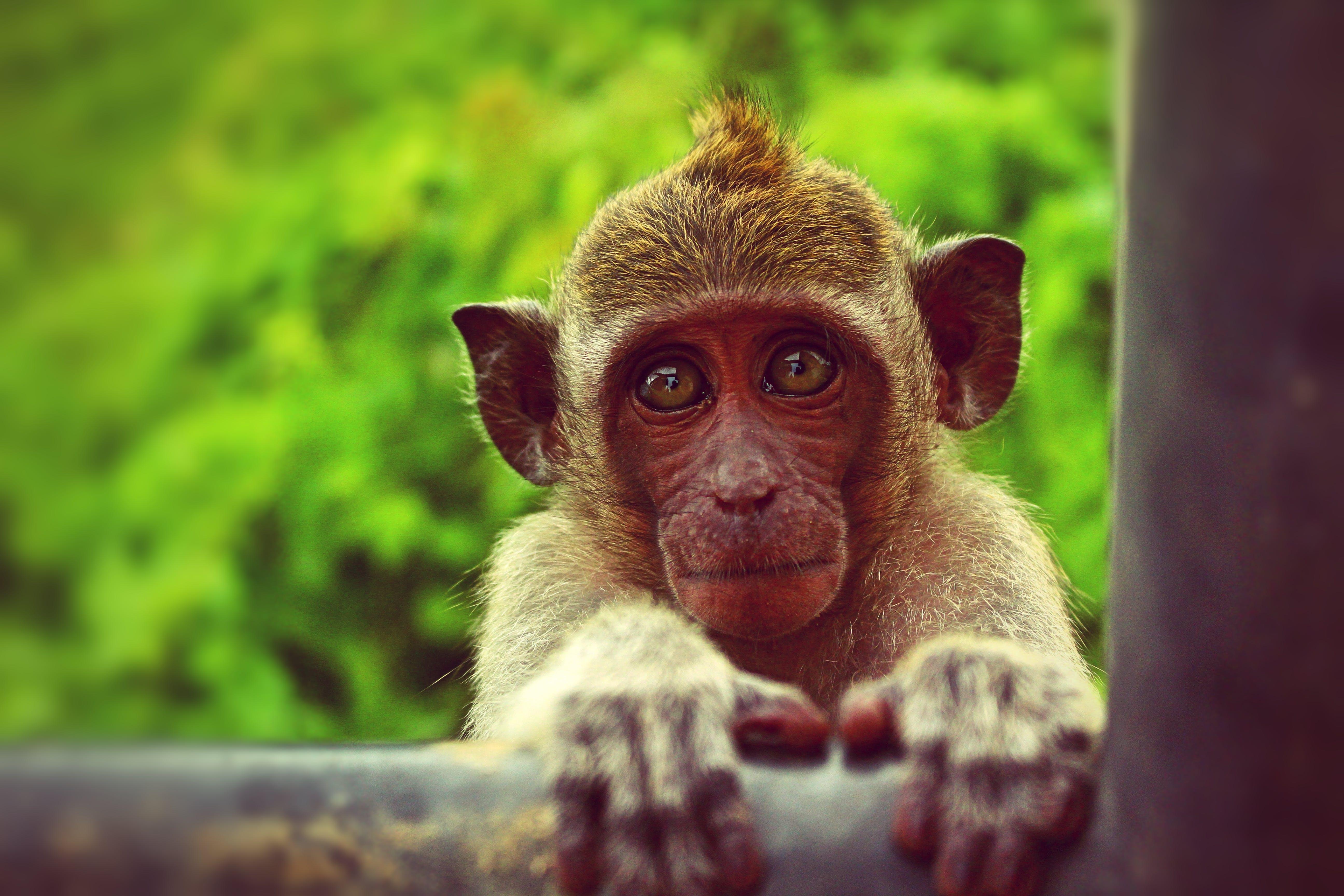 Brown Monkey Holding Black Metal Bar