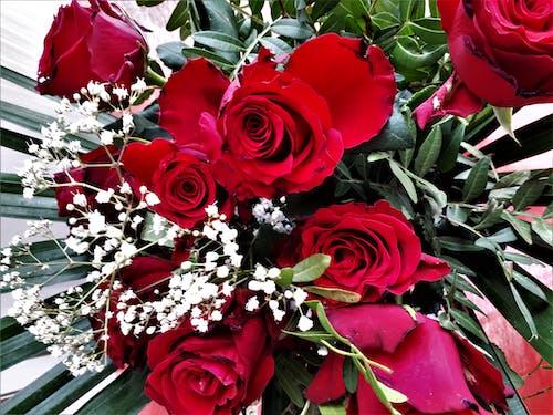 Photos gratuites de roses