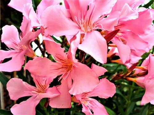 Photos gratuites de fleurs roses
