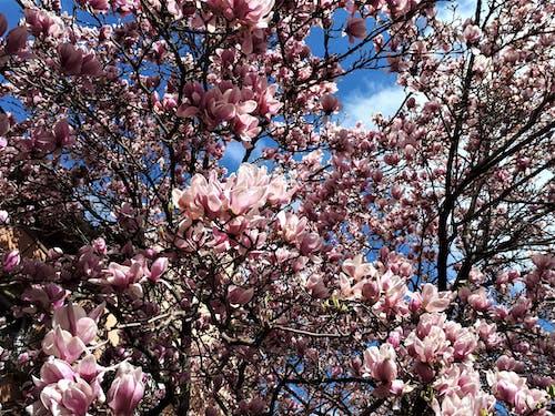 Photos gratuites de magnolia