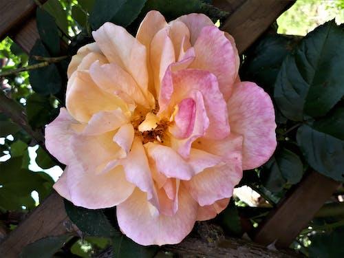 Photos gratuites de roses de jardin