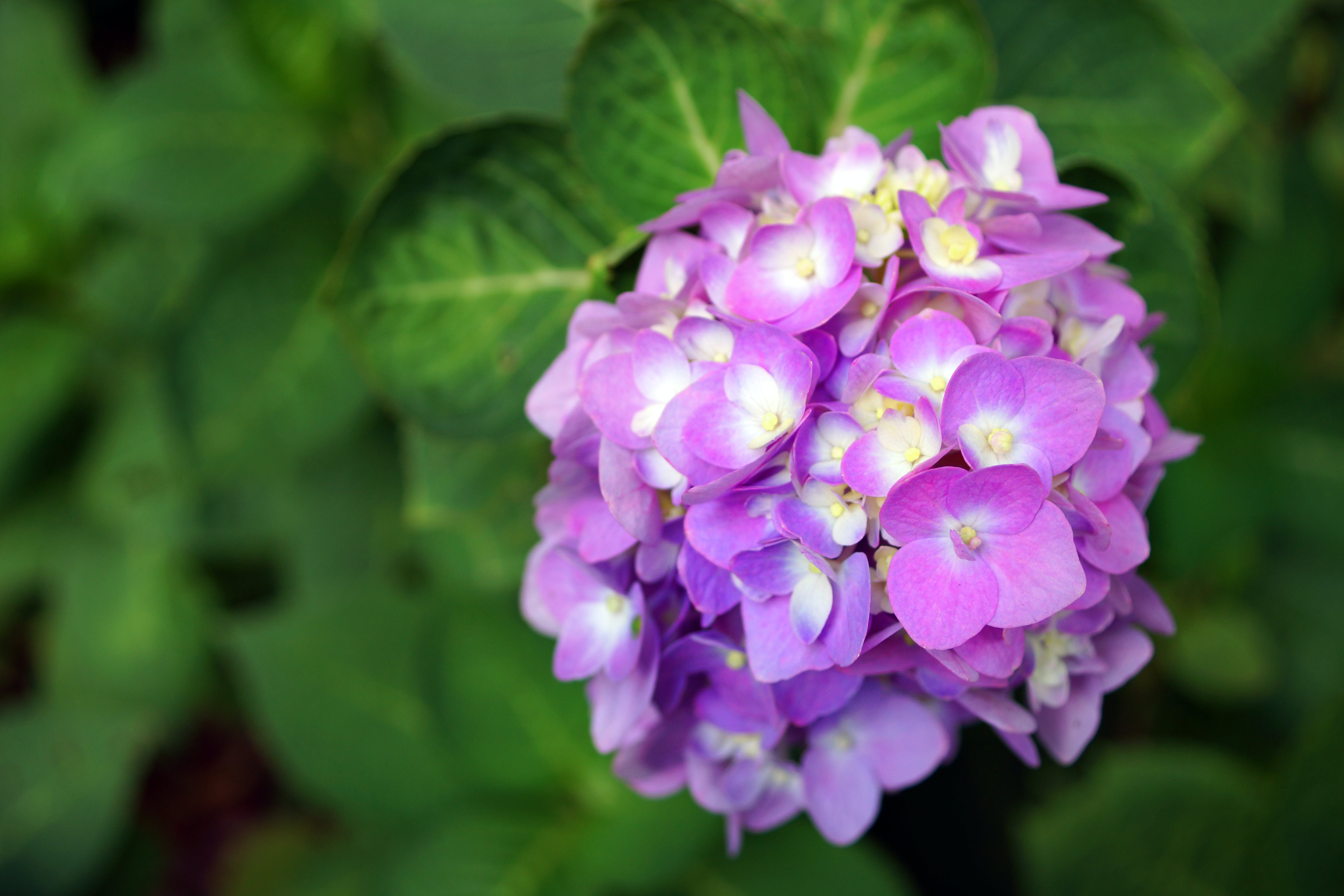 Selective Focus Photography of Purple Hydrangea Flower