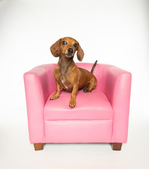 Close-Up Shot of a Dachshund on a Pink Chair while Looking at Camera