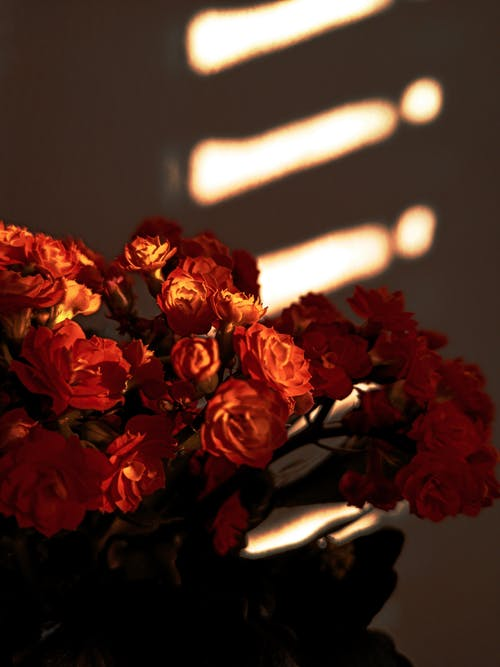 A Close-Up Shot of Red Roses
