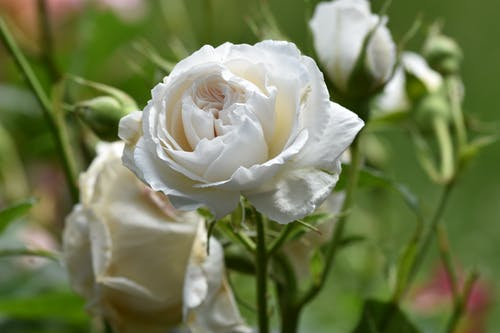 Close-Up Shot of a White Rose in Bloom